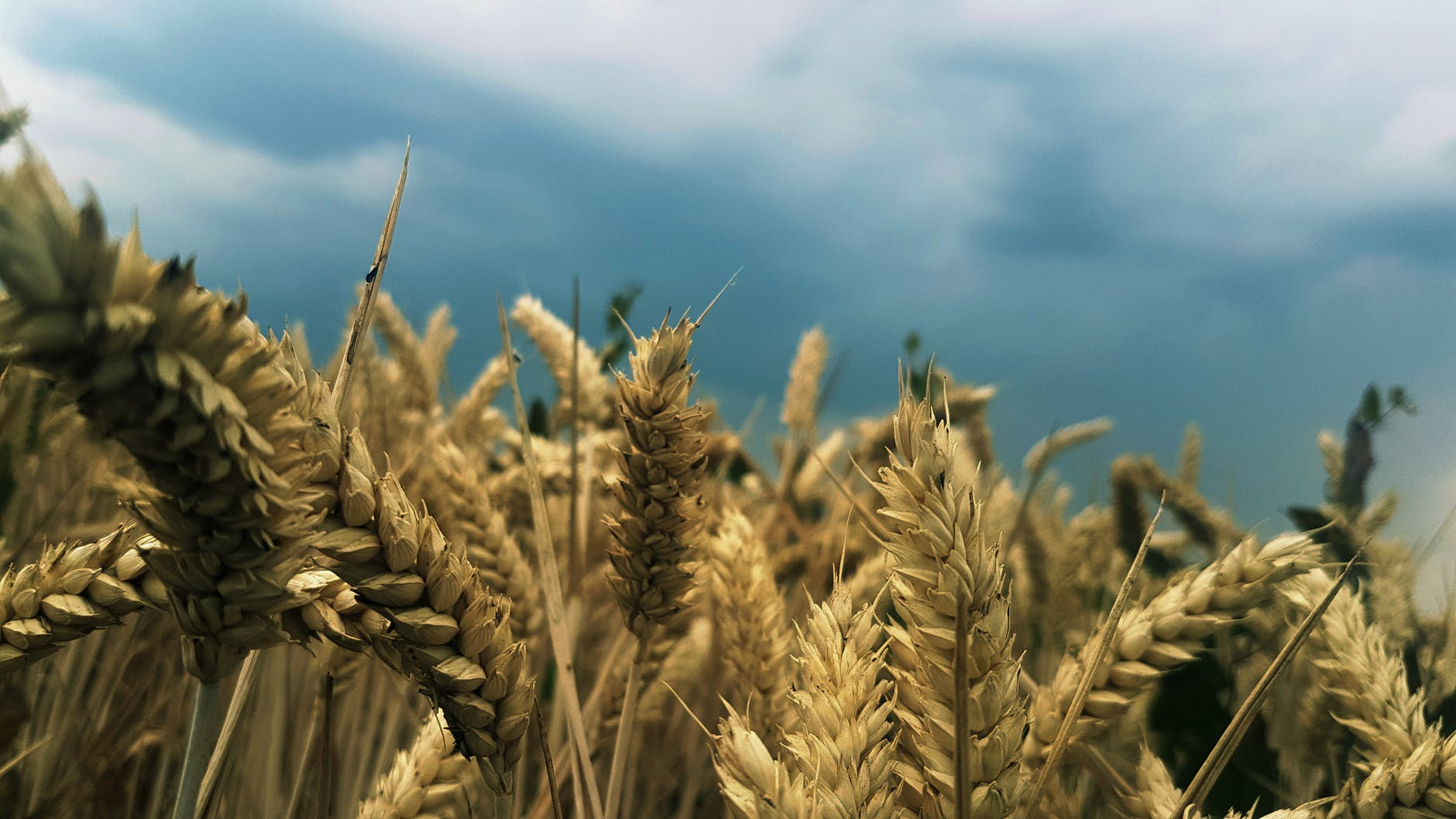 rice wheat field