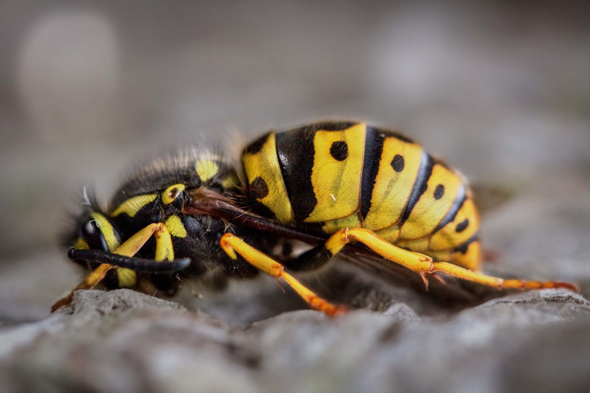 gravid yellow jacket wasp close up photography
