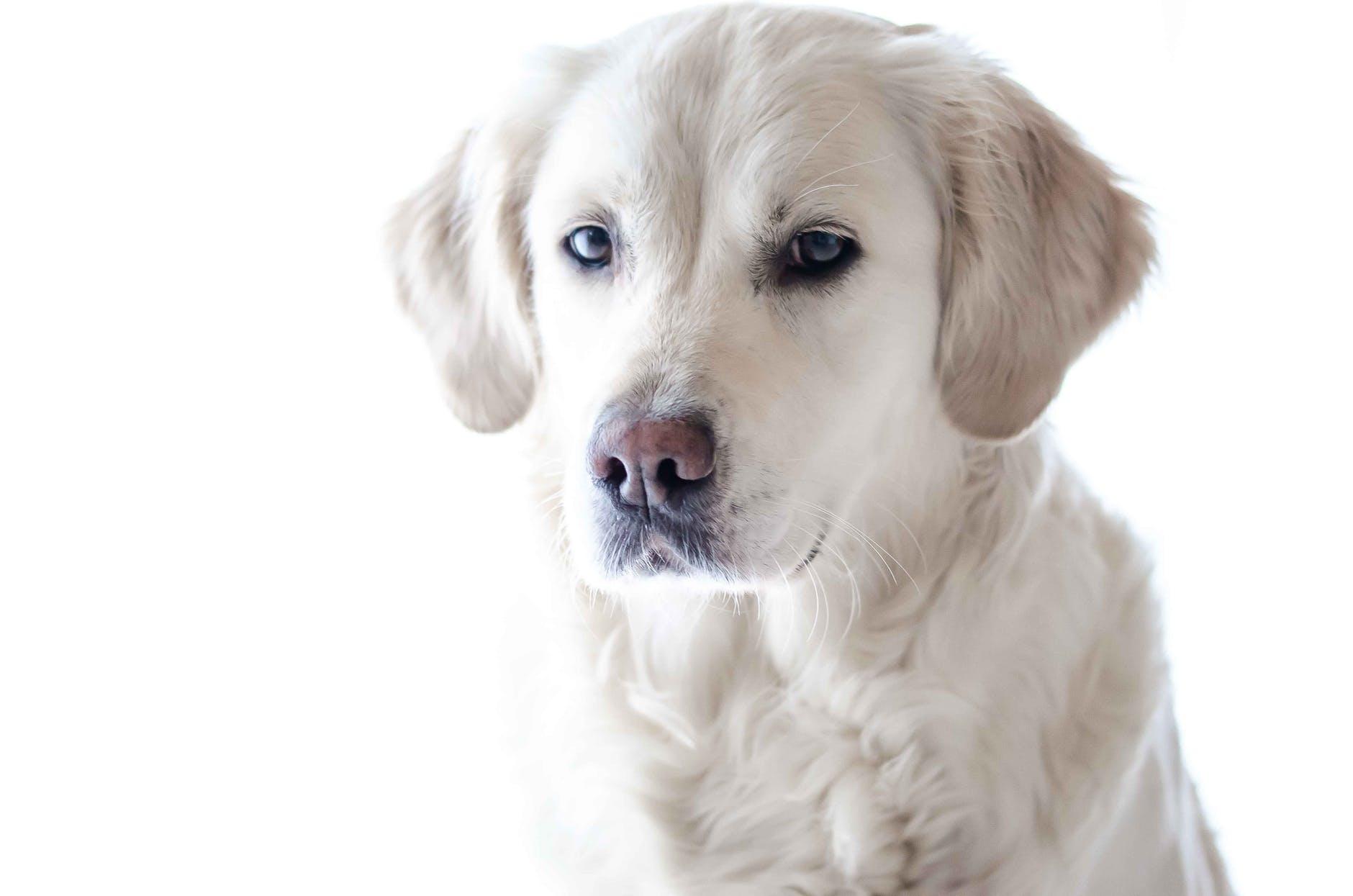 light golden retriever puppy close up photography